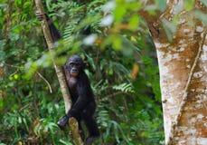 Bonobojunges auf einem Baumast. Lizenzfreies Stockfoto