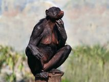 bonobokvinnlig Arkivbilder