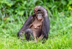 Bonobomann auf dem grünen natürlichen Hintergrund Stockfotos