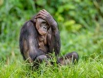 Bonobomann auf grünem natürlichem Hintergrund Lizenzfreies Stockfoto