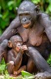 Bonobomutter mit Jungem im natürlichen Lebensraum Schließen Sie herauf Porträt auf grünem natürlichem Hintergrund Stockfoto