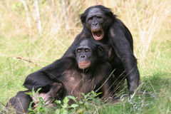 Bonobos Royalty Free Stock Photo