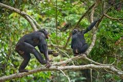 Bonobos Fotografia Stock