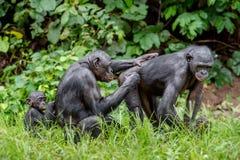 Bonobos auf dem grünen natürlichen Hintergrund Stockfoto