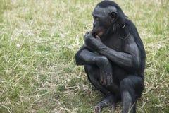 Bonobos Stock Photos