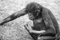 Bonobos Royalty Free Stock Image
