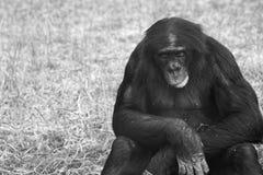 Bonobos Stock Image