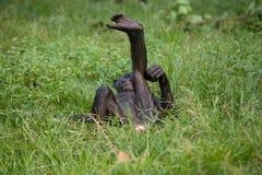 Bonobos die op de grond ligt Democratische Republiek de Kongo Het Nationale Park van Lola Ya BONOBO Stock Afbeelding
