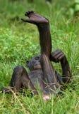 Bonobos die op de grond ligt Democratische Republiek de Kongo Het Nationale Park van Lola Ya BONOBO Stock Foto