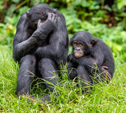 Bonobos on Green natural background Stock Image