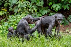 Bonobos on the  Green natural background. Stock Photo