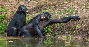 Bonobos joignant dans l'eau Photographie stock libre de droits