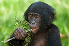 Bonobos mangeant le bambou Le Republic Of The Congo Democratic Parc national de BONOBO de Lola Ya Photos stock