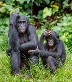 Bonobos Royalty Free Stock Images