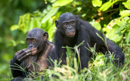 Bonobos in natural habitat. Green natural background. Stock Images
