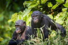 Bonobos in natural habitat. Green natural background. The Bonobo ( Pan paniscus) Royalty Free Stock Images
