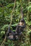 Bonobos (Pan Paniscus) auf einem Baumast Grüner natürlicher Dschungelhintergrund Lizenzfreies Stockfoto