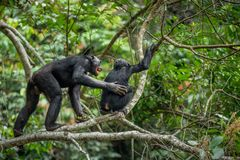 Bonobos (Pan Paniscus) auf einem Baumast im Dschungel Lizenzfreie Stockfotos