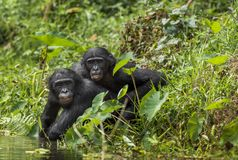 Bonobos (Pan Paniscus) on green natural background. Stock Photos
