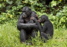 Bonobos (Pan Paniscus) on green natural background. Stock Photo