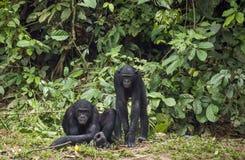 Bonobos (Pan Paniscus) on green natural background. Stock Image