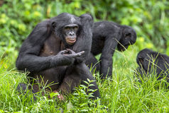 Bonobos (Pan Paniscus) on green natural background. Royalty Free Stock Photography