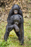 Bonobos (Pan Paniscus) on green natural background. Royalty Free Stock Images