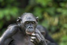 Bonobos (Pan Paniscus) on green natural background. Stock Photos