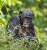 Bonobos (Pan Paniscus) on green natural background. Stock Photography