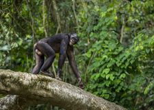 Bonobos (Pan Paniscus) on a tree branch. Green natural jungle background. Stock Photography