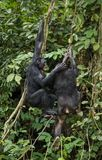 Bonobos (Pan Paniscus) on a tree branch. Green natural jungle background. Stock Photos