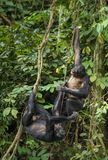 Bonobos (Pan Paniscus) on a tree branch. Green natural jungle background. Royalty Free Stock Photo