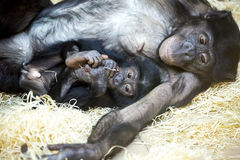 Bonobos share 98.7% of their genetic code with hum Stock Photo