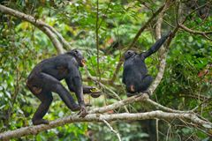 Bonobos Stock Photography