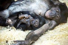 Bonobosanteil 98 7% ihres genetischen Codes mit Summen Stockfoto