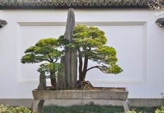 Bonsaïs, décoration de pin d'ébauche dans le jardin Image stock