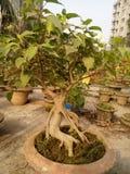 Bonsaïs d'arbre de Baniyan Photos libres de droits