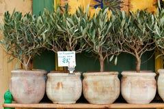 Bonsaïs d'oliviers Images libres de droits