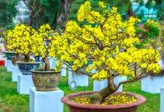 Bonsaïs fleurissants au printemps Vietnam d'abricot jaune de pots Image libre de droits