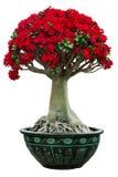 Bonsaïs roses de fleur de désert Image libre de droits