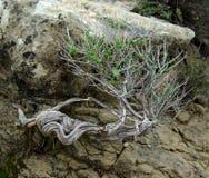 Bonsai ähnlicher Baum mit verdrehtem Stamm Stockfotografie