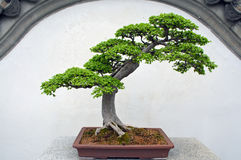 bonsai Fotografie Stock
