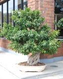 Bonsai Royalty-vrije Stock Afbeelding