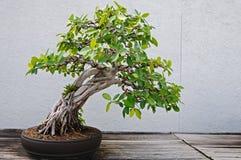 bonsai Fotografie Stock Libere da Diritti
