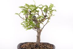 Bonsai. Little green tree on white Stock Images