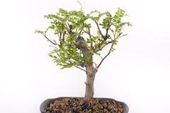 bonsai Obrazy Stock