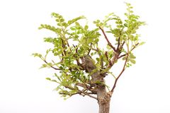 Bonsai. Little green tree on white Royalty Free Stock Photography