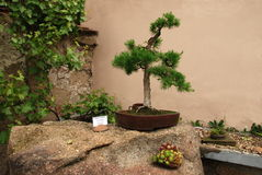 bonsai Arkivbild