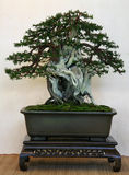 Bonsai. Old quality pine bonsai presentation the japanese gardening culture Royalty Free Stock Images