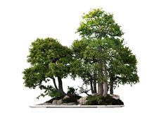 Free Bonsai Royalty Free Stock Photos - 14510088